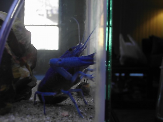 Click image for larger version  Name:blue lobster 004.jpg Views:63 Size:46.1 KB ID:15970