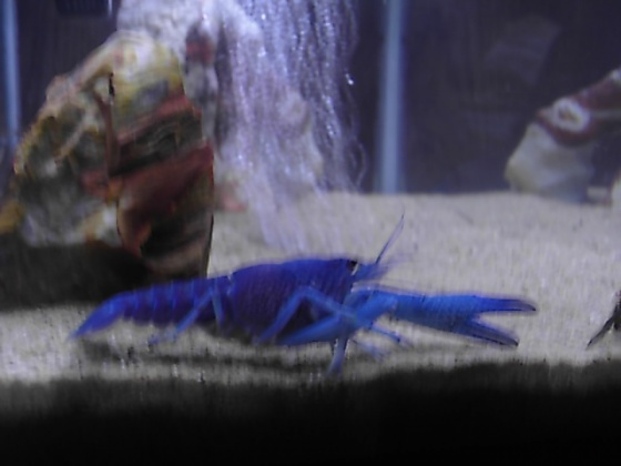 Click image for larger version  Name:blue lobster 005.jpg Views:86 Size:50.0 KB ID:15971