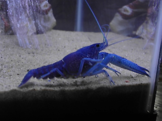 Click image for larger version  Name:blue lobster 007.jpg Views:138 Size:56.0 KB ID:15973