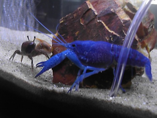 Click image for larger version  Name:blue lobster 006.jpg Views:45 Size:62.9 KB ID:16007