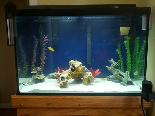 Click image for larger version  Name:Cichlid Tank.jpg Views:212 Size:218.1 KB ID:160226