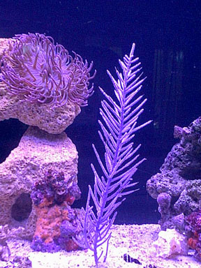 Click image for larger version  Name:purplecoral_1nov01.jpg Views:93 Size:57.7 KB ID:1605