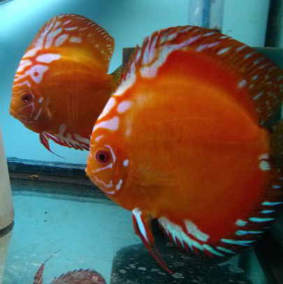 Click image for larger version  Name:Breeding Tangerine Discus Pair.jpg Views:272 Size:155.9 KB ID:161341