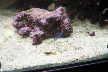 Click image for larger version  Name:Gobies 11-08.jpg Views:56 Size:64.8 KB ID:16240