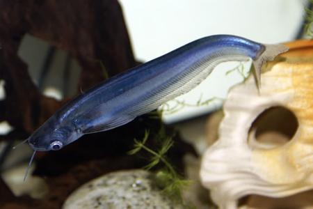 Click image for larger version  Name:1306842381_blue-sheatfish.jpeg Views:102 Size:16.0 KB ID:164006