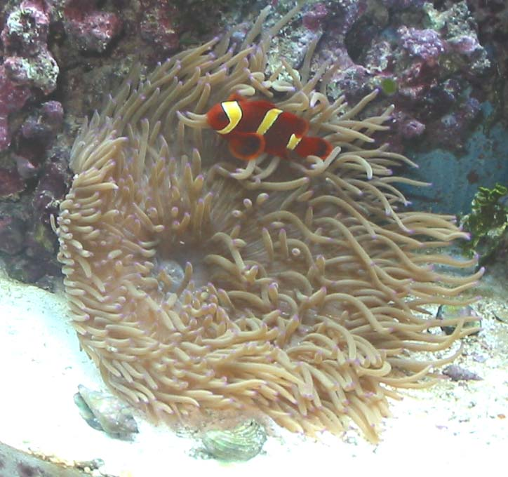 Click image for larger version  Name:clownfish.jpg Views:115 Size:87.9 KB ID:1645
