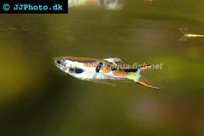 Click image for larger version  Name:endlers-guppy-profile.jpeg Views:80 Size:14.4 KB ID:164500