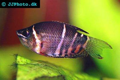 Click image for larger version  Name:chocolate-gourami-profile.jpeg Views:86 Size:25.0 KB ID:164502