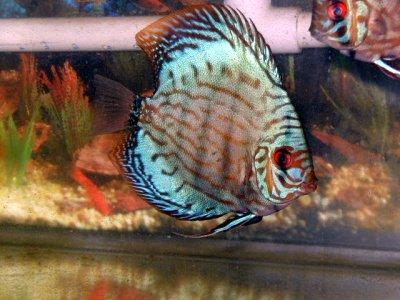 Click image for larger version  Name:blue-discus-profile.jpeg Views:87 Size:29.5 KB ID:164503