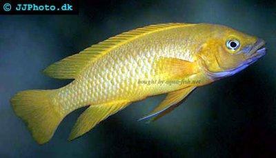 Click image for larger version  Name:lemon-cichlid-profile.jpeg Views:91 Size:18.6 KB ID:164744