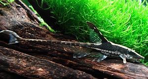 Name:  Whiptail_Whiptail Catfish.jpeg Views: 269 Size:  59.9 KB
