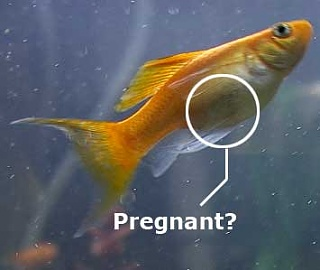 Pregnant molly fish signs images black molly fish for Eating fish while pregnant
