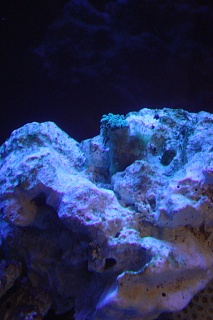 Click image for larger version  Name:RO and Soft Corals 007.jpg Views:62 Size:43.4 KB ID:16553