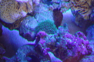 Click image for larger version  Name:RO and Soft Corals 009.jpg Views:73 Size:78.9 KB ID:16554