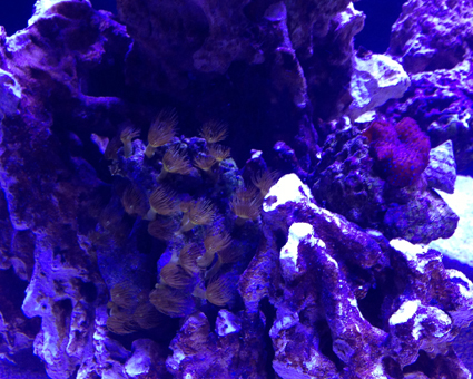 Click image for larger version  Name:Yellow Polyp and Red Mushroom.jpg Views:76 Size:227.0 KB ID:169195