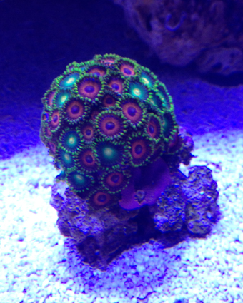 Click image for larger version  Name:Zoa's.jpg Views:75 Size:204.8 KB ID:169196