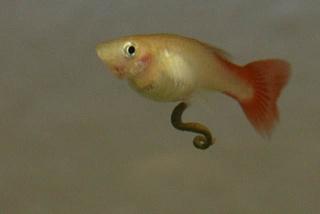 anormal feeding and pooping behavior in guppy aquarium advice