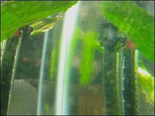 Click image for larger version  Name:algae.jpg Views:59 Size:65.8 KB ID:17120