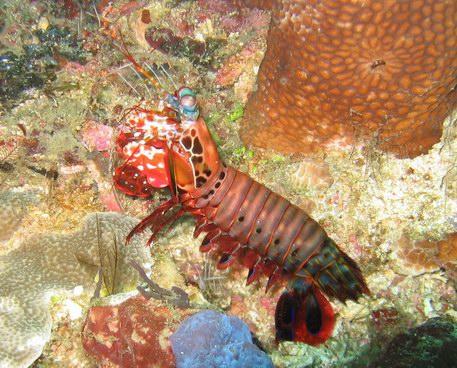 Click image for larger version  Name:mantis_shrimp_207.jpg Views:65 Size:83.5 KB ID:1722