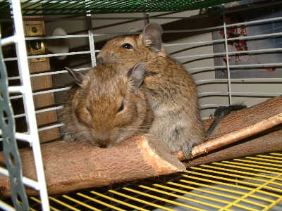 Click image for larger version  Name:degus_snuggling_of_log__2.jpg Views:127 Size:29.3 KB ID:1727