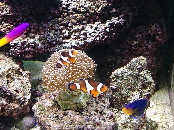 Click image for larger version  Name:torch coral.jpg Views:63 Size:75.1 KB ID:17354