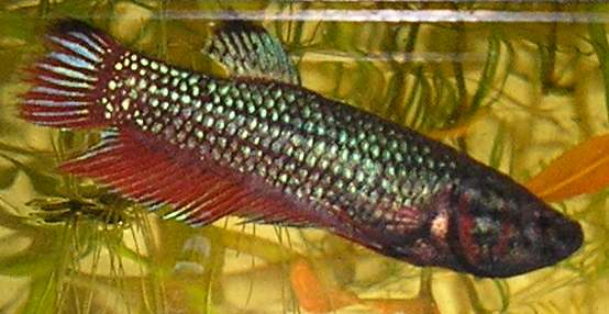 Click image for larger version  Name:female_betta_202.jpg Views:341 Size:27.0 KB ID:176