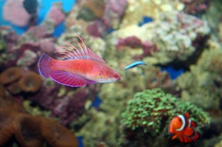 Click image for larger version  Name:flasher wrasse.jpg Views:62 Size:67.4 KB ID:17640