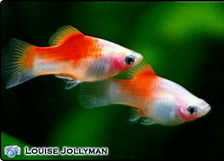 Click image for larger version  Name:2010-04-30_092247_1903_platy-1.jpg Views:57 Size:12.3 KB ID:179786