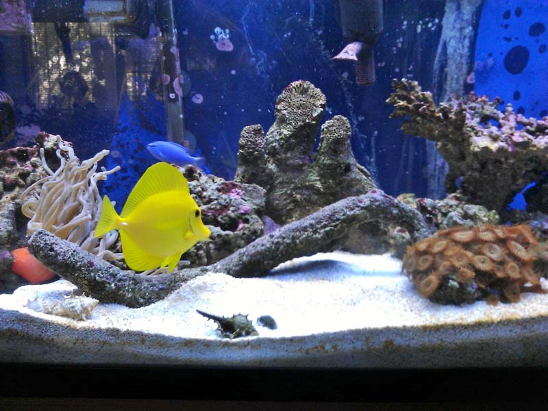 Click image for larger version  Name:YELLOW TANG 1.jpg Views:26 Size:96.0 KB ID:179946