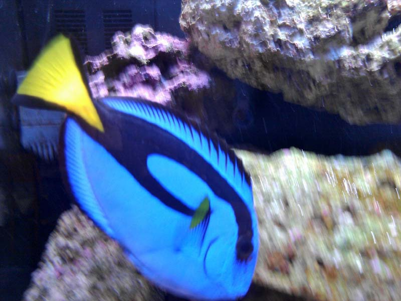 Click image for larger version  Name:BLUE REGAL TANG.jpg Views:32 Size:76.0 KB ID:179947