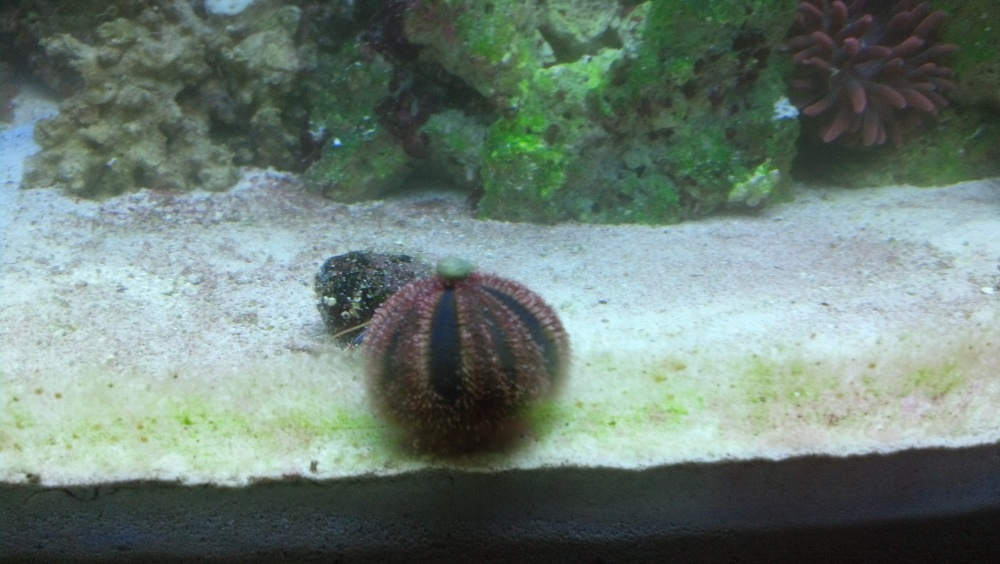 Click image for larger version  Name:Tuxedo Urchin.jpg Views:49 Size:182.1 KB ID:180836