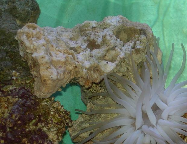 Click image for larger version  Name:cody_anemone.jpg Views:82 Size:56.4 KB ID:1822