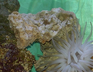 Click image for larger version  Name:cody_anemone.jpg Views:87 Size:56.4 KB ID:1822
