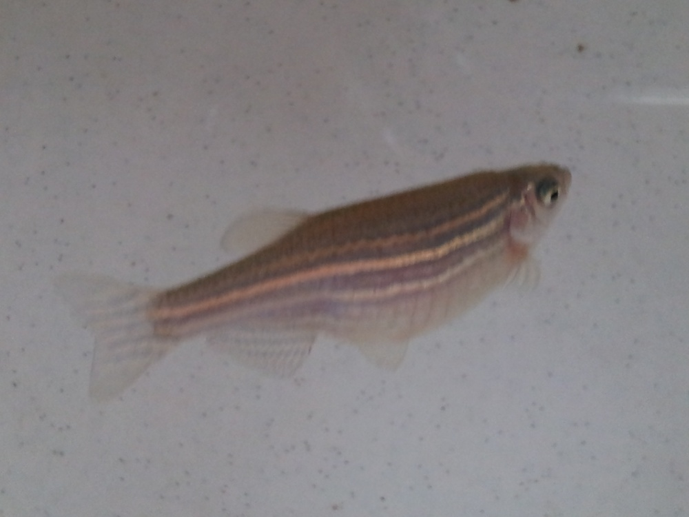 Click image for larger version  Name:sick danio.jpg Views:45 Size:116.1 KB ID:189056