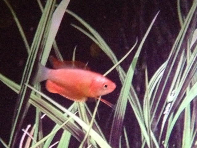 Click image for larger version  Name:gourami.JPG Views:43 Size:211.3 KB ID:189548