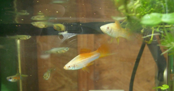 Click image for larger version  Name:new swordtails.jpg Views:75 Size:53.1 KB ID:19049