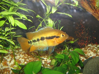 Click image for larger version  Name:Male Rainbow Cichlid.jpg Views:47 Size:78.2 KB ID:19101