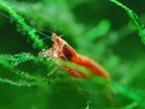 Click image for larger version  Name:rcs_shrimp2.jpg Views:34 Size:24.9 KB ID:19291