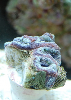 Click image for larger version  Name:blue acan.jpg Views:49 Size:47.6 KB ID:19305