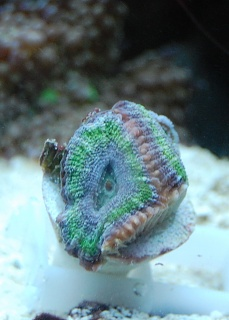 Click image for larger version  Name:blue-green acan.jpg Views:54 Size:40.4 KB ID:19306