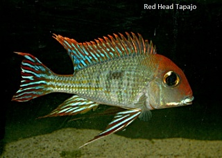 Click image for larger version  Name:Tapajo.jpg Views:191 Size:80.5 KB ID:194943