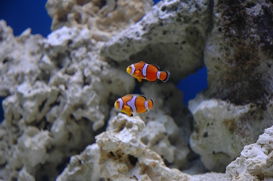 Click image for larger version  Name:Marlin:Nemo.jpg Views:43 Size:69.3 KB ID:19761