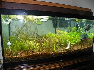 Click image for larger version  Name:grow out tanks 007.jpg Views:93 Size:254.1 KB ID:200982
