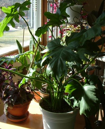 Click image for larger version  Name:big_leaf_plant.jpg Views:52 Size:119.8 KB ID:2015
