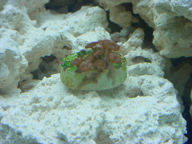 Click image for larger version  Name:first coral.JPG Views:84 Size:151.5 KB ID:202960