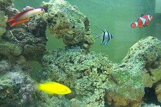 Click image for larger version  Name:Yellow Wrasse & Firefish.jpg Views:46 Size:65.9 KB ID:20468