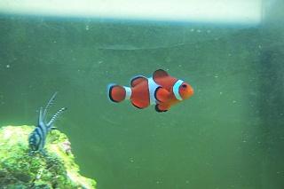 Click image for larger version  Name:Ocellaris Clownfish.jpg Views:38 Size:60.8 KB ID:20470