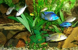 Click image for larger version  Name:Cichlid Assortment.JPG Views:43 Size:45.7 KB ID:20558