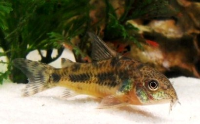 Click image for larger version  Name:Peppered Cory Resized.JPG Views:37 Size:54.7 KB ID:20593