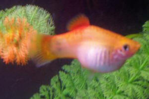 Pregnant Molly Fish Babies? How Long Until Birth?